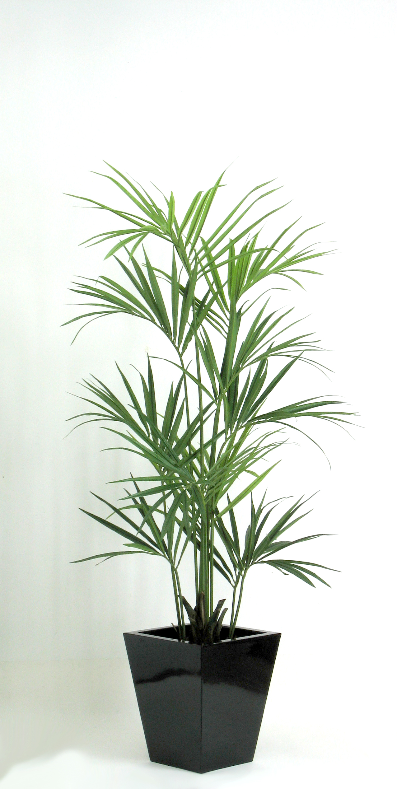 Pianta kentia for Kentia pianta