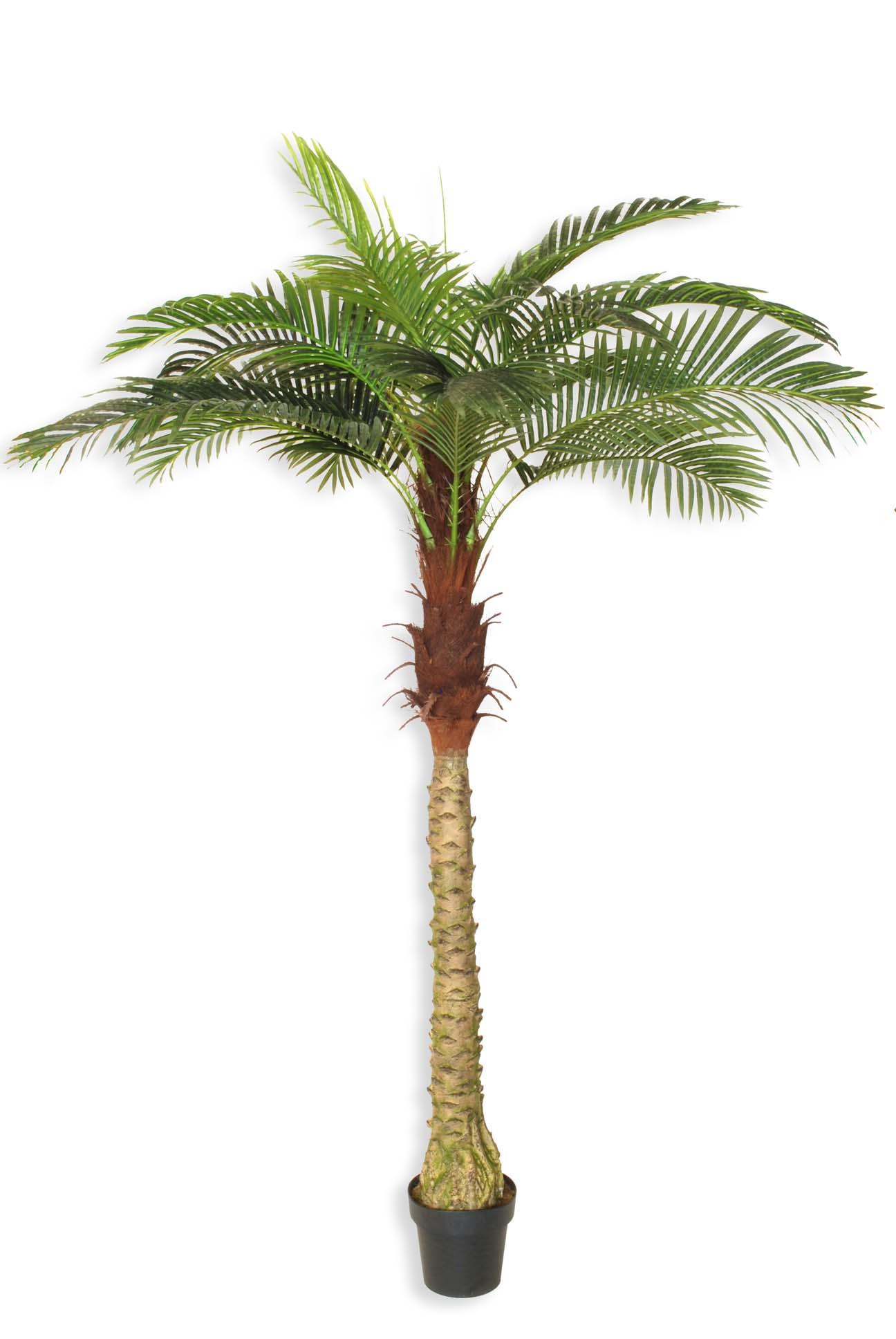 Pianta palma phoenix h 200 cm for Palma pianta