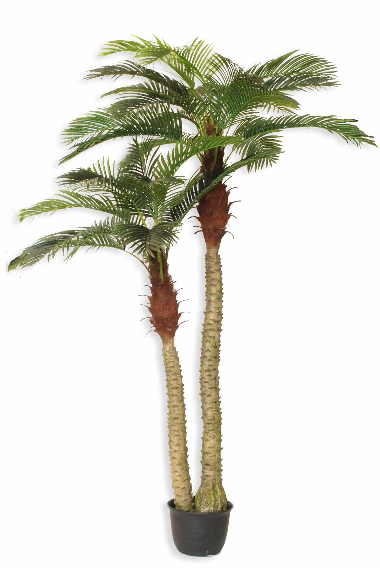 Pianta palma phoenix doppia h 250 200 cm for Palma pianta
